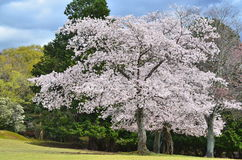 Cherry Tree in Nara, Japan Royalty Free Stock Photos