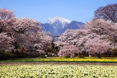 Cherry tree and narcissus field Royalty Free Stock Photos