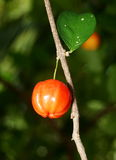 Cherry on the tree Stock Photography