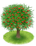 Cherry Tree nel campo verde Immagine Stock