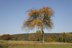 Cherry tree in October, North Rhine-Westphalia, Germany Stock Image