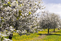Cherry tree orchard Stock Images