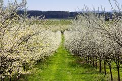 Cherry tree orchard with grass path and blue sky, Czech landscape.  royalty free stock photography