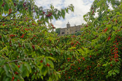 Cherry tree orchard in Menerbes Stock Image