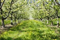 Cherry Tree Orchard Okanagan Valley imagens de stock royalty free