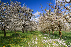 Cherry tree orchard in spring Stock Images