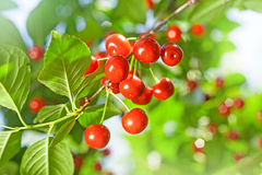 Cherry tree Stock Photography