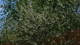 Cherry tree over the sky stock video