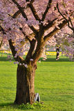 Cherry tree in a park. Beautifully blossoming cherry tree on green meadow at warm sunlight royalty free stock photography