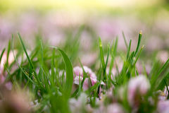 Cherry tree petals on grass abstract Stock Photography