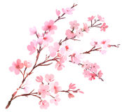 Cherry tree pink blossom. Watercolor Stock Image