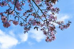 Cherry tree blossoms in spring Stock Photo