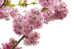 Cherry tree blossoms in spring royalty free stock images