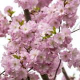 Japanese cherry tree blossoms in spring royalty free stock images
