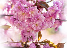 Cherry tree pink delicate flowers Stock Photo