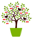 Cherry tree in pot Royalty Free Stock Image