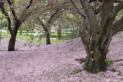 Cherry Tree (Prunus sargentii) Stock Photography