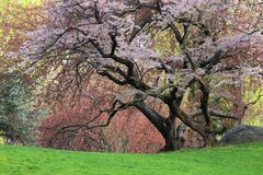 Cherry Tree (Prunus sargentii). With fresh pink flowers in Spring in New York's Central Park Royalty Free Stock Image
