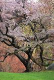Cherry Tree (Prunus sargentii). With fresh pink flowers in Spring in New York's Central Park Stock Image