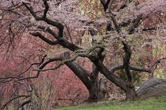 Cherry Tree (Prunus sargentii). With fresh pink flowers in Spring in New York's Central Park Stock Images