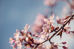Cherry tree (prunus sargentii) blossoms in spring Royalty Free Stock Photography