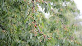 Cherry tree in the rain.  stock video
