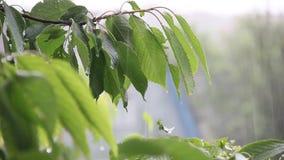 Rain drops falling on green leaves. Cherry tree in the rain stock video