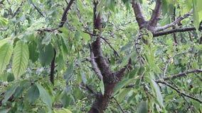 Rain drops falling on green leaves. Cherry tree in the rain stock footage