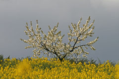 Cherry tree with rape field in Germany Stock Images