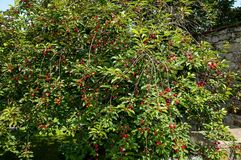 Cherry tree. With red cherry Stock Photography
