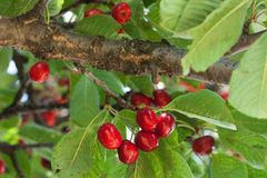 Cherry tree with red fruits Stock Image