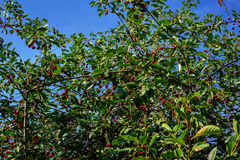 Cherry tree with ripe berries against the background of the blue sky Royalty Free Stock Images