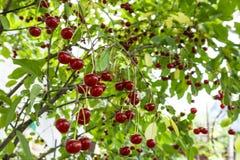 Cherry tree with ripe cherries stock images