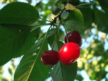 Cherry on the tree. Ripe red cherries on the tree Royalty Free Stock Images