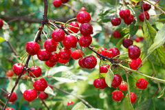 Cherry tree. Cherry ripes on tree waiting to collect Stock Photos