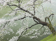 Cherry Tree by the River. Landscape shot of a cherry tree overhanging a river in Japan Stock Photography