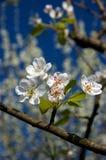 Cherry tree's flowers stock image