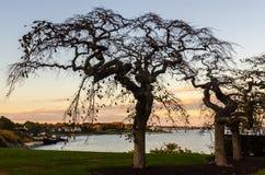Bare Cherry Tree Sunset Silhouette - Newport, RI. Bare cherry trees silhouetted against backdrop of Newport RI coastline at sunset Stock Photos