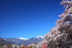 Cherry tree and snowy mountain Stock Image