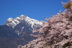 Cherry tree and snowy mountain Royalty Free Stock Photo