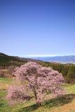 Cherry tree and snowy mountain Royalty Free Stock Photo