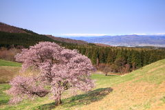 Cherry tree and snowy mountain Royalty Free Stock Photos