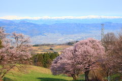 Cherry tree and snowy mountain Royalty Free Stock Images