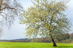 Cherry tree at spring Royalty Free Stock Photo