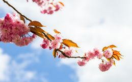 A cherry tree. During the spring Royalty Free Stock Photo