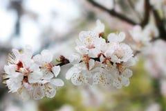 Cherry-tree in spring Stock Photos