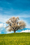 Cherry tree in spring Stock Images