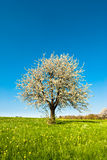 Cherry tree in spring royalty free stock photo