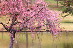 Cherry Tree in Spring Bloom Royalty Free Stock Image