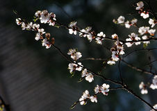 Cherry-tree spring blossom Stock Image